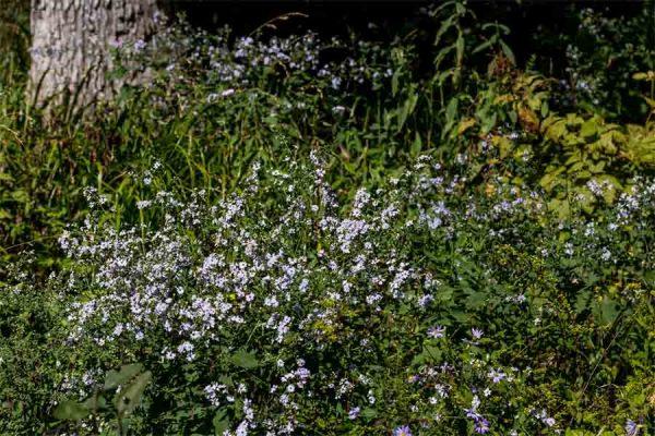 Aster cordifolius, Blue Wood Aster