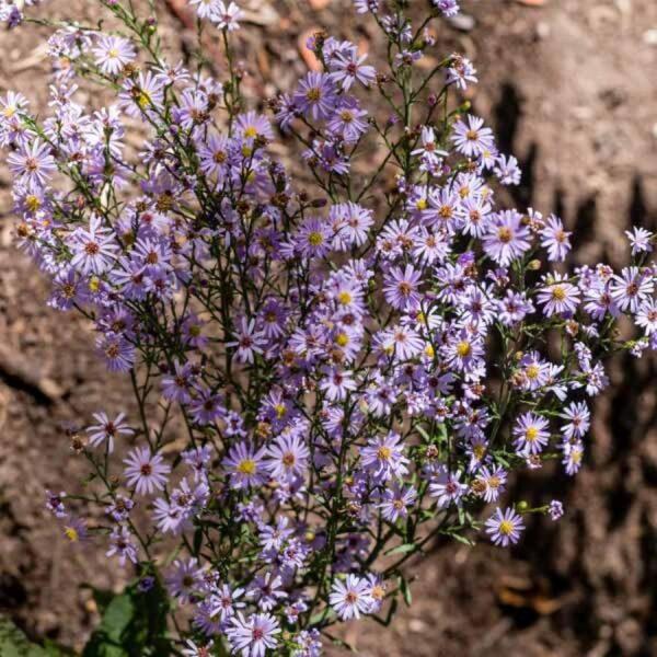 Aster-oolentagiensis-Sky-Blue-Aster