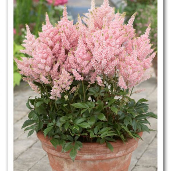 Astilbe Younique Salmon, False Spirea