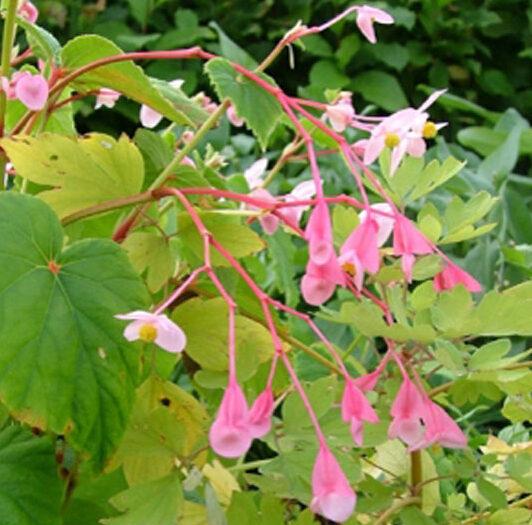 Begonia grandis, Hardy Begonia