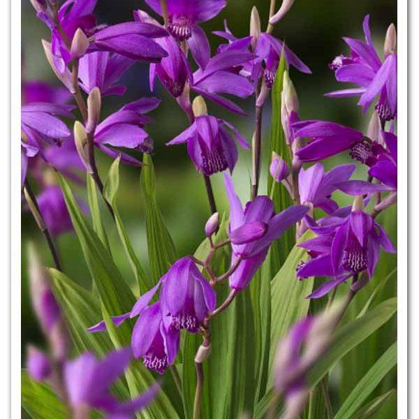 Bletilla striata Chinese Ground Orchid