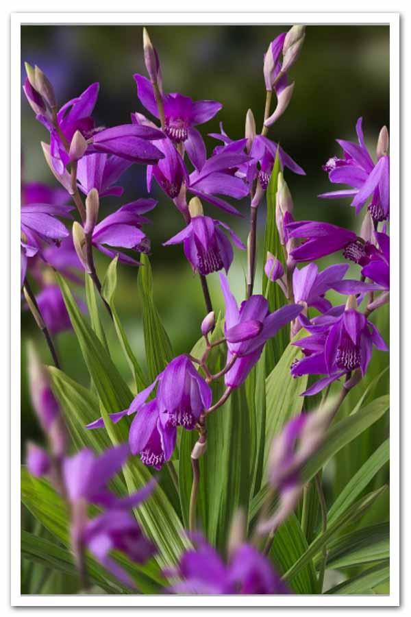 Bletilla striata, Chinese Ground Orchid