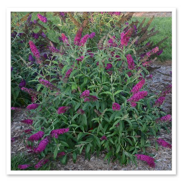 Buddleia Queen of Hearts, Butterfly Bush