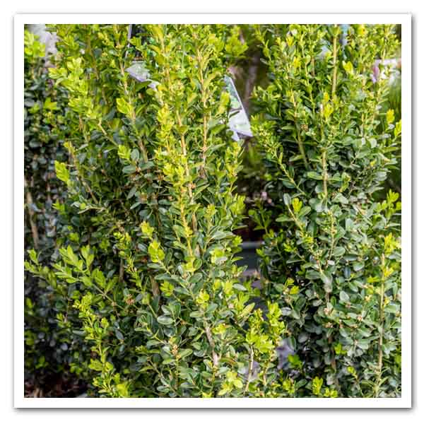 Buxus Green Tower, Boxwood