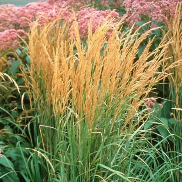 Calamagrostis Karl Forester, Feather Reed Grass
