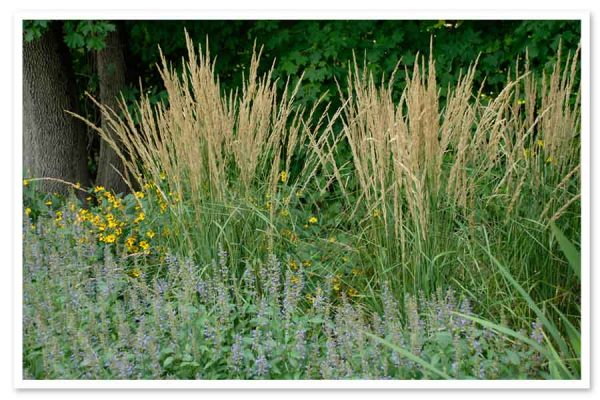 Calamagrostis x acutiflora Karl Foerster, Feather Reed Grass