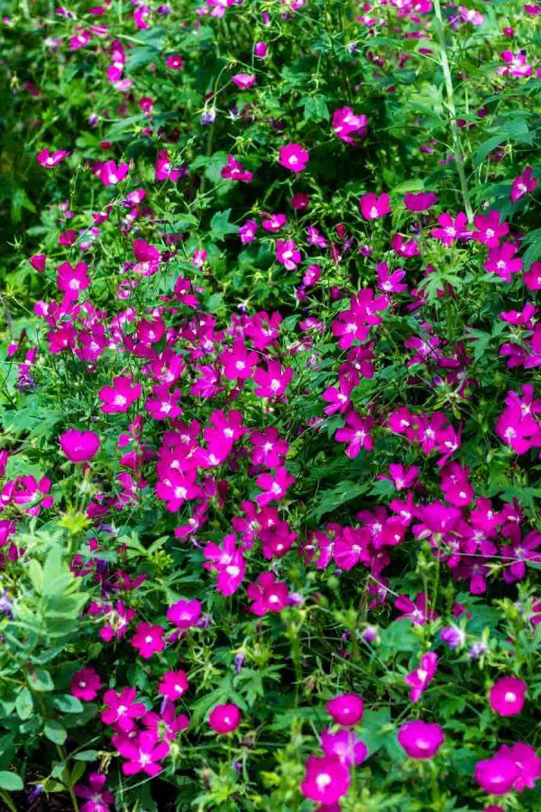 Callirhoe involucrata, Purple Poppy Mallow
