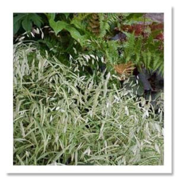 Chasmanthium latifolium River Mist Northern Sea Oats