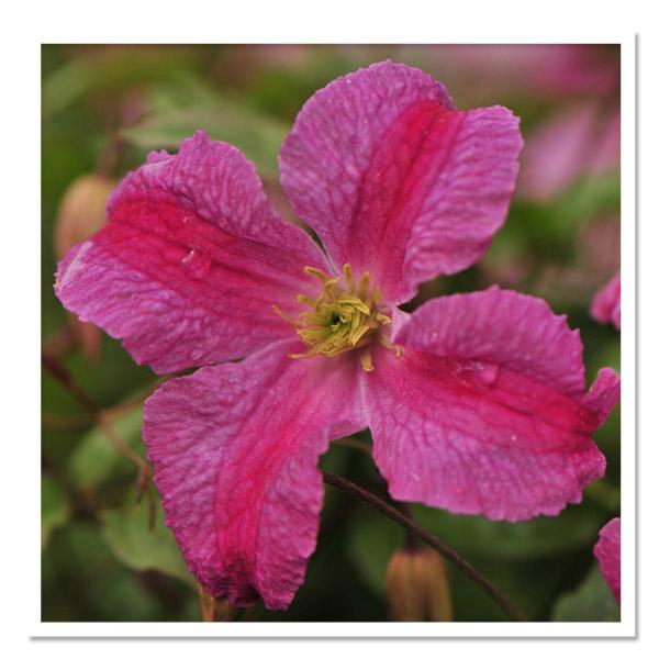Clematis Pink Mink
