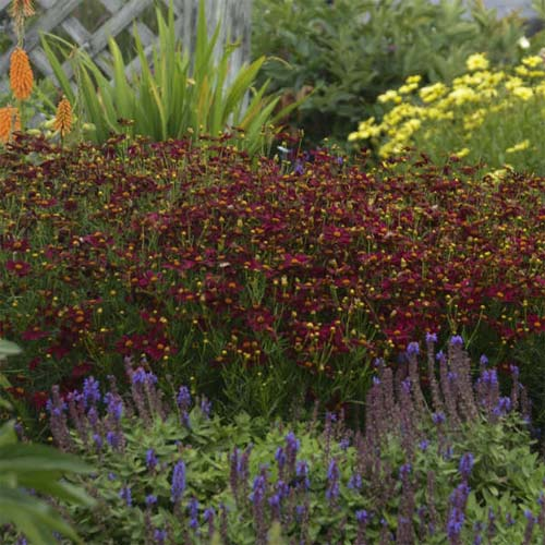 Coreopsis Red Satin, Tickseed