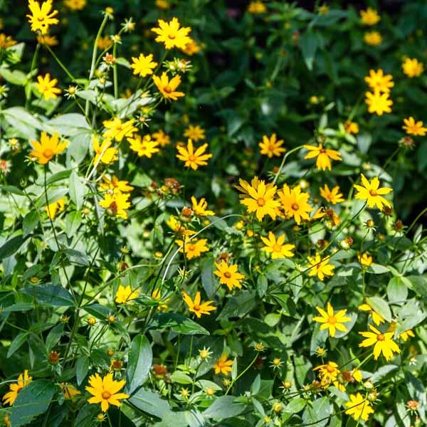 Coreopsis lanceolata Lance Leaf Coreopsis