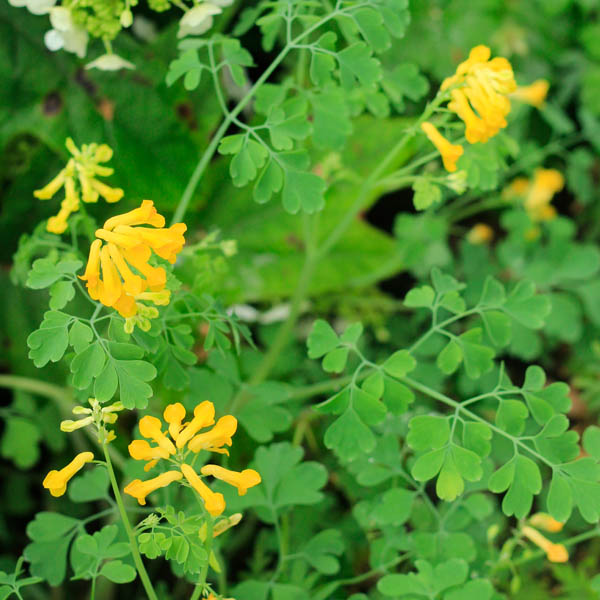 Corydalis lutea, Wee Folk's Stockings