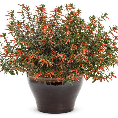 Firecracker Plant Vermillionaire