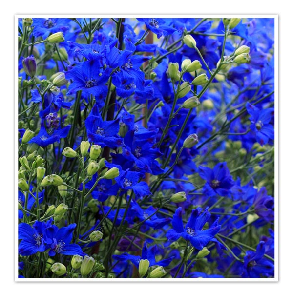Delphinium Diamonds Blue, Larkspur