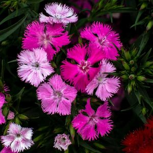 Dianthus Rockin Pink Magic, Pinks
