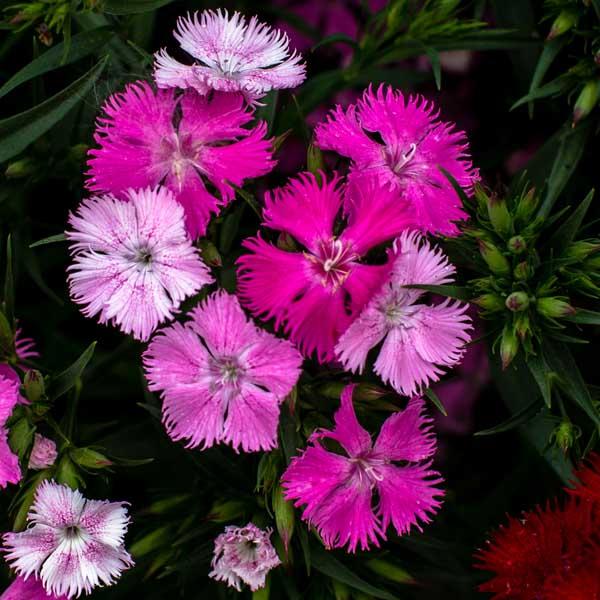 Dianthus Rockin' Pink Magic Pinks