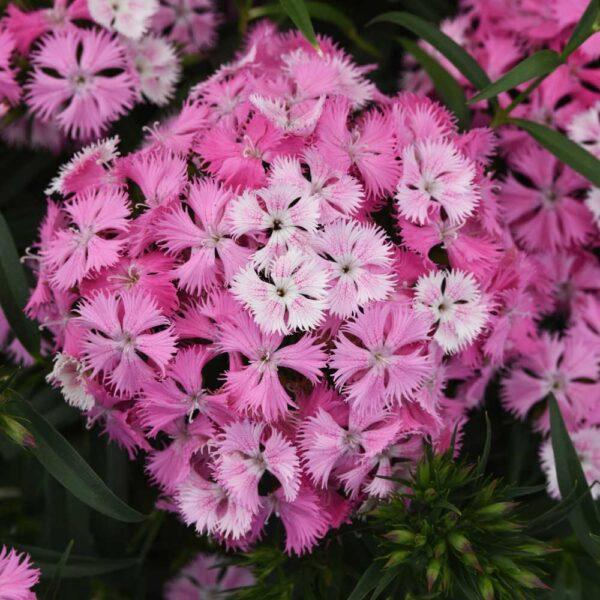 Dianthus Rockin Pink Majic Pinks
