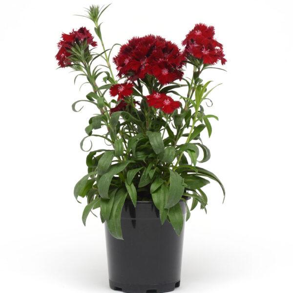 Rockin Red Dianthus