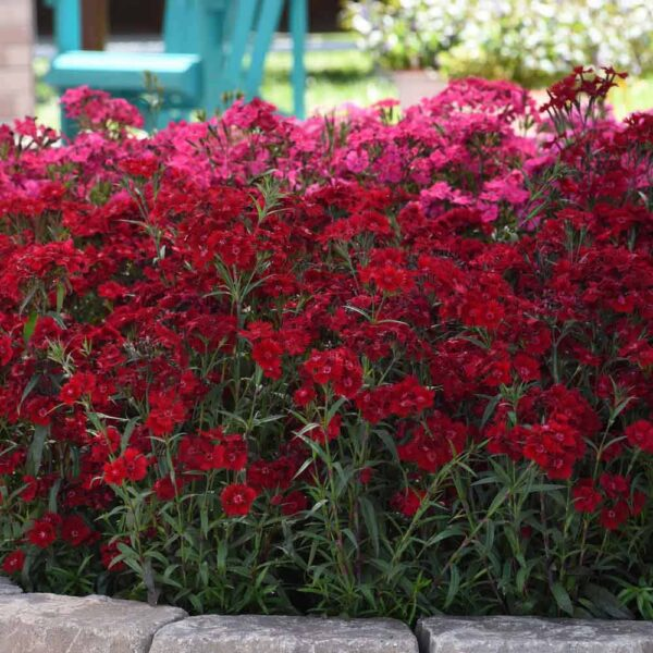 Dianthus Rockin' Red, Pinks