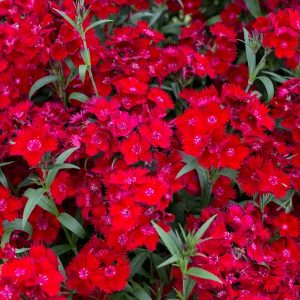 Dianthus Rockin Red, Pinks