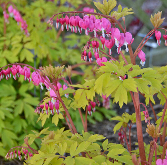Dicentra spectabilis Gold Heart, Old Fashioned Bleeding Heart