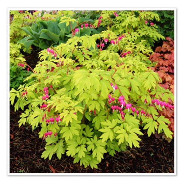 Dicentra spectabilis Gold Heart Old Fashioned Bleeding Heart