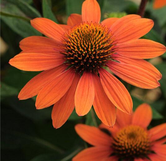 Echinacea Sombrero Adobe Orange, Coneflower