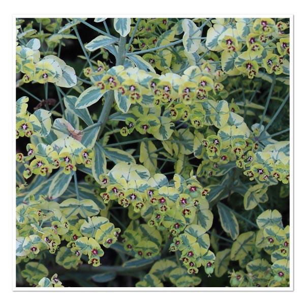 Euphorbia Ascot Rainbow, Spurge