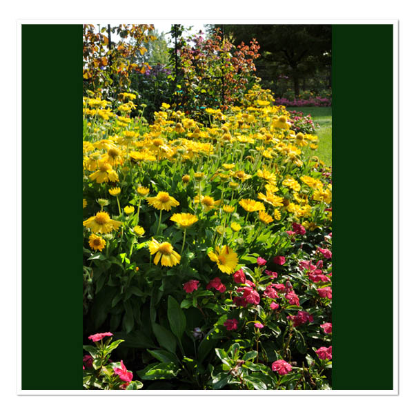 Gaillardia Mesa Yellow, Blanket Flower