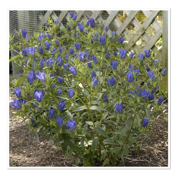 Gentiana True Blue, Gentian