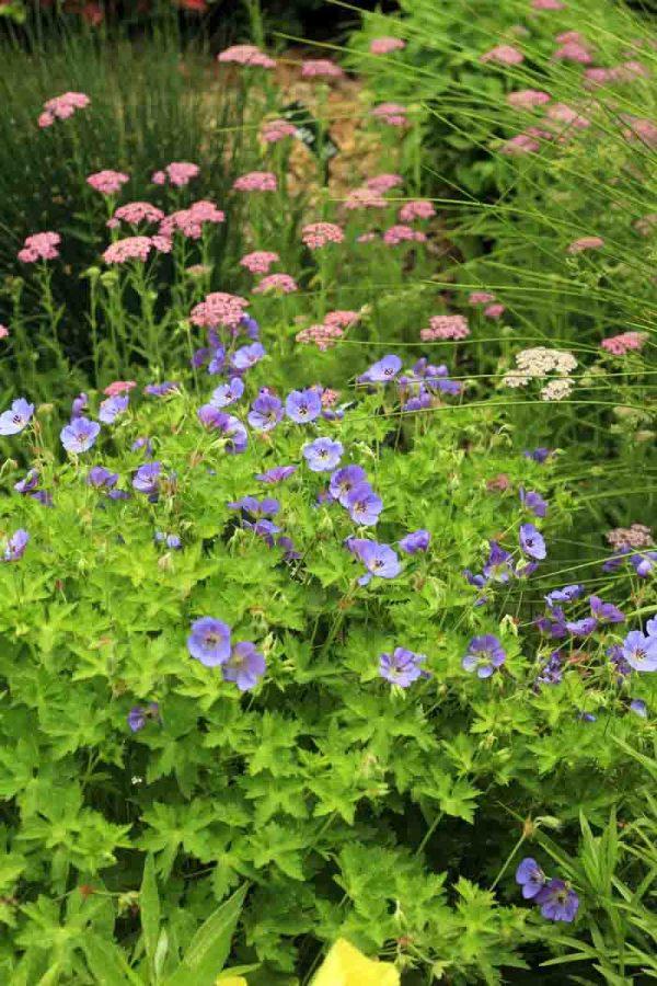 Geranium Rozanne, Hardy Geranium
