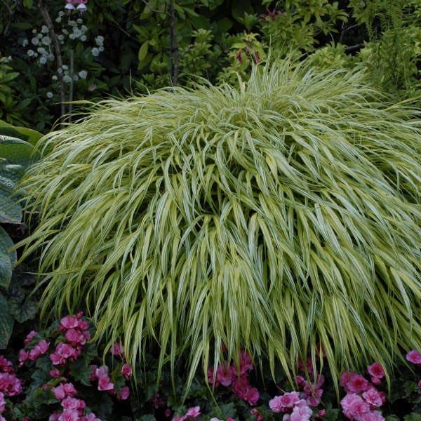 Hakonecholoa macra Aureola, Japanese Forest Grass