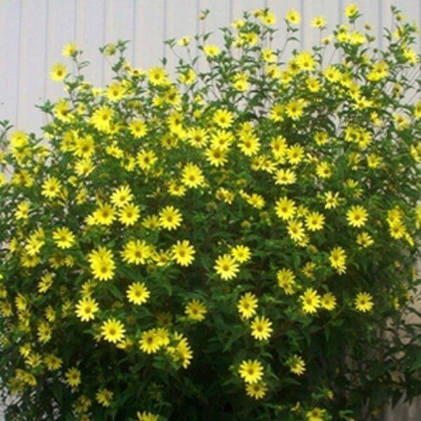 Helianthus Lemon Queen Perennial Sunflower