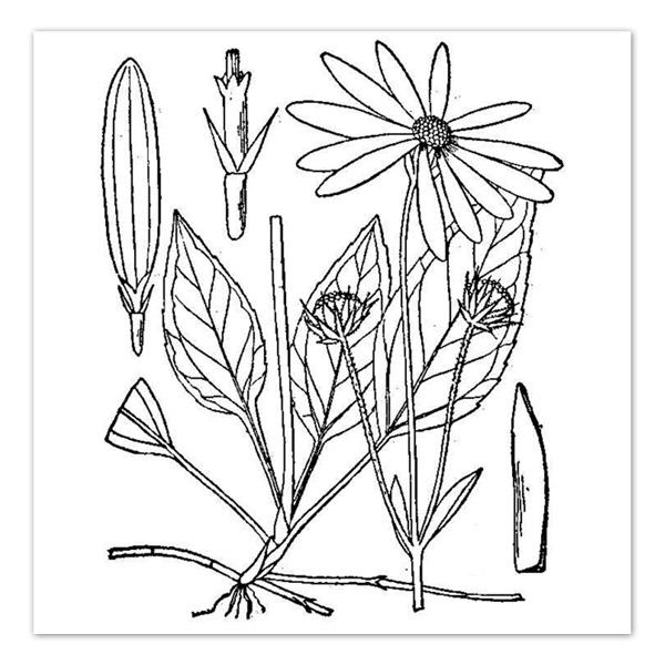 Helianthus occidentalis, Western Sunflower