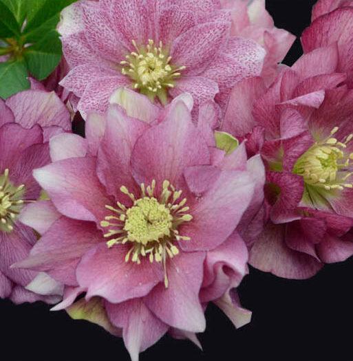 Helleborus-Maid-of-Honor-Lenten-Rose.