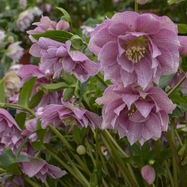 Helleborus Wedding Crasher, Lenten Rose