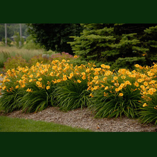 Hemerocallis Stella de Oro, Repeat Blooming Daylily