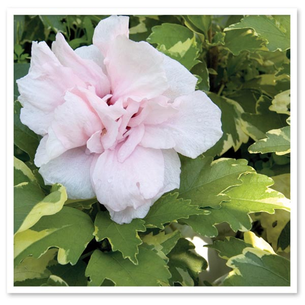 Hibiscus Sugar Tip, Rose of Sharon