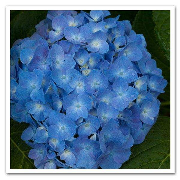 Hydrangea macrophylla Blue Jangles, Bigleaf Hydrangea