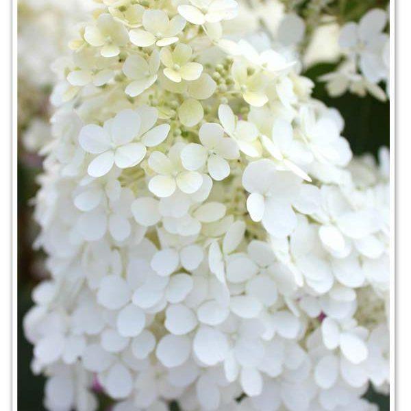 Hydrangea BoBo, Panicle Hydrangea