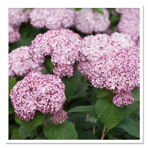 Hydrangea Incrediball Blush, Smooth Hydrangea
