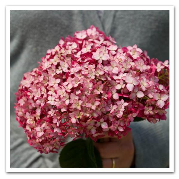 Hydrangea Invincibelle Ruby, Smooth Hydrangea