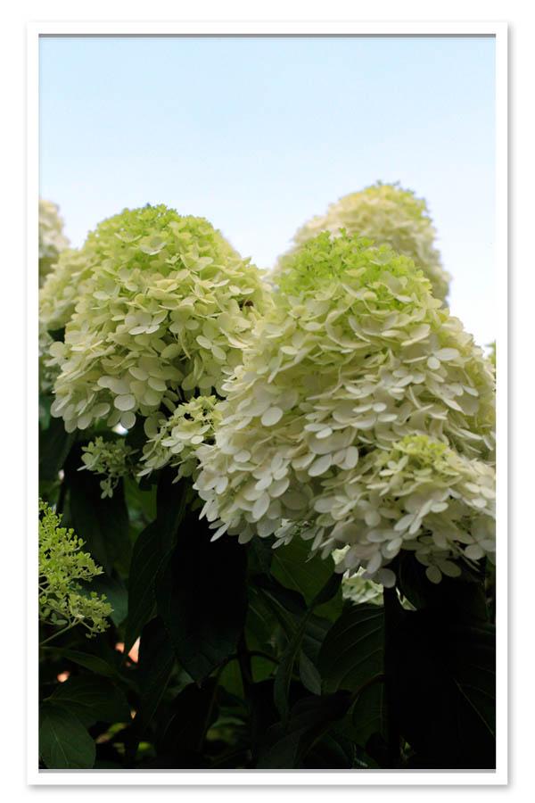 Hydrangea paniculata Limelight, Panicle Hydrangea