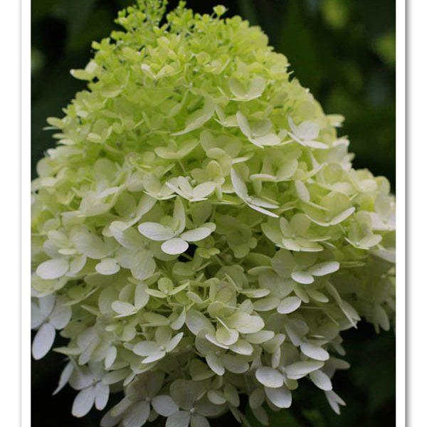 Hydrangea Limelight, Panicle Hydrangea