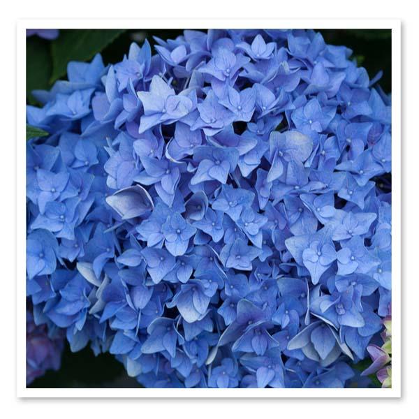 Hydrangea macrophylla Rhythmic Blue, Bigleaf Hydrangea