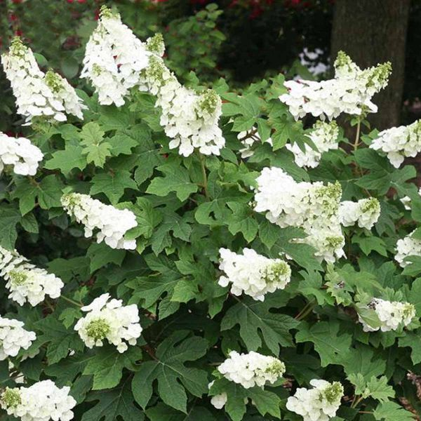 Hydrangea Ruby Slippers, Oakleaf Hydrangea