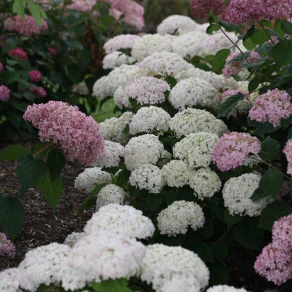 Hydrangea Wee White, Smooth Hydrangea