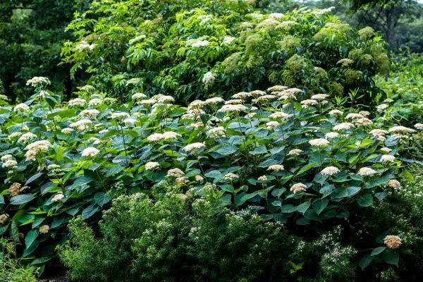 Hydrangea arborescens, Smooth Hydrangea