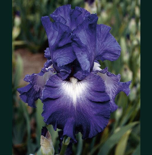 Iris Speeding Again, Reblooming Tall Bearded Iris