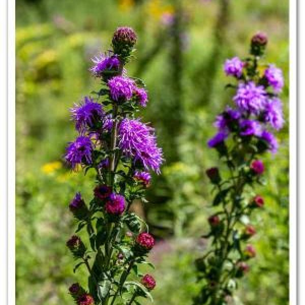 Liatris scariosa, Northern Blazing Star